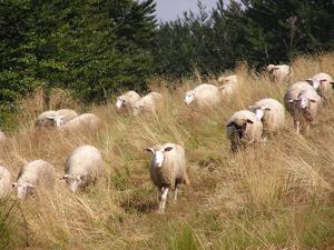 schapen tellen