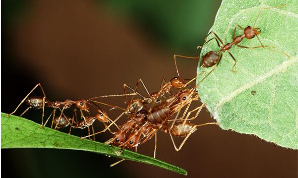 getrainde mieren