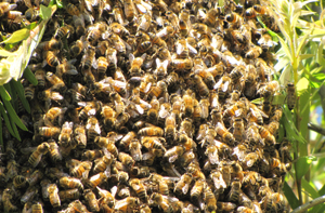Genezende bijen