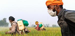 arbeiders in de basmati-rijst