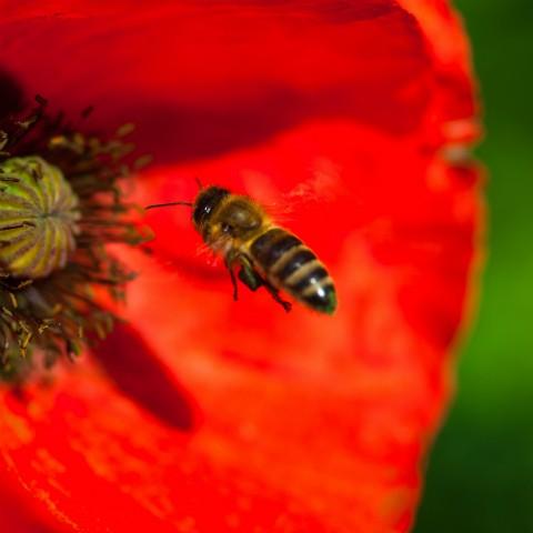 red de bijen!