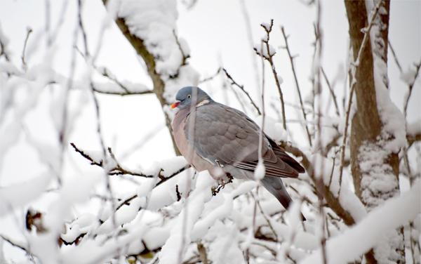 duif in besneeuwde boom