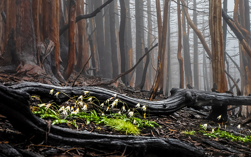"""""""After the Fire"""" by Paul Glasser 2017 Forest Landscapes Winner"""