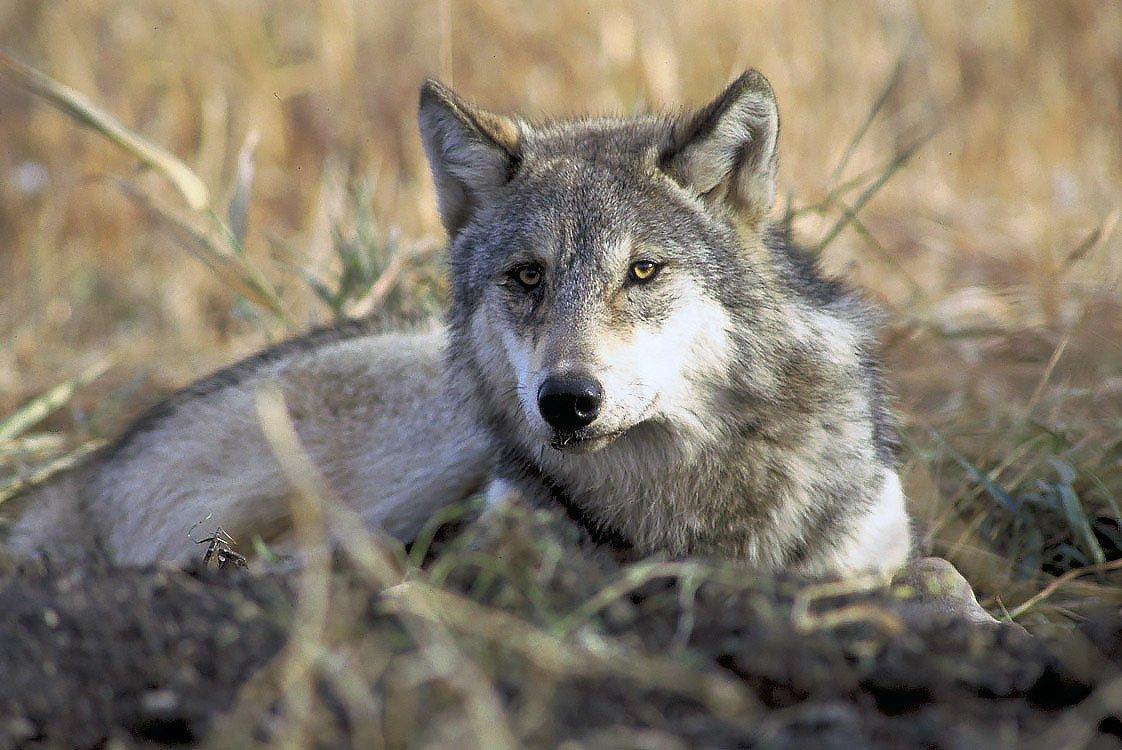 photo credit: Credit John and Karen Hollingsworth/United States Fish and Wildlife Service