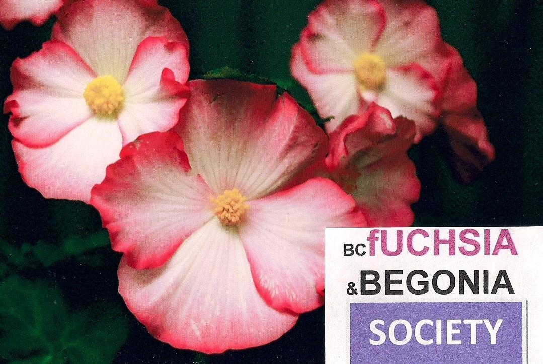 BC Begonia Plant Sale