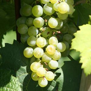 Grüner Veltliner Grapes