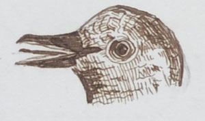 Spurgeon Pencil Drawing of a bird