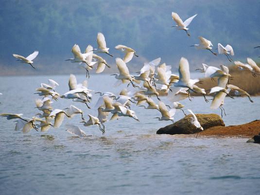 White egrets taking off
