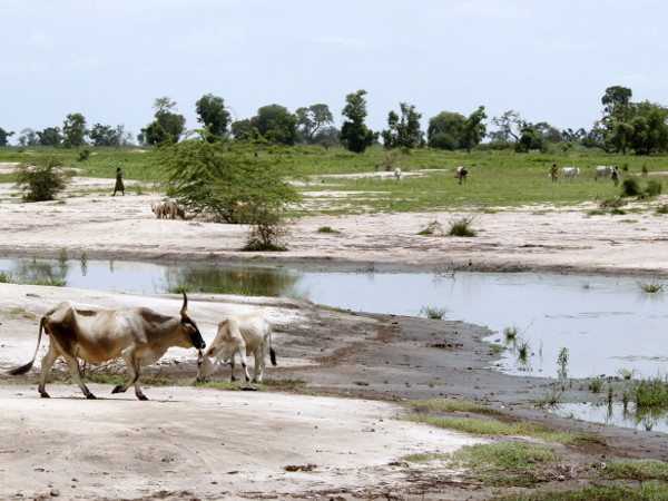 Trees and grass give way to a water hole with mud and cattle