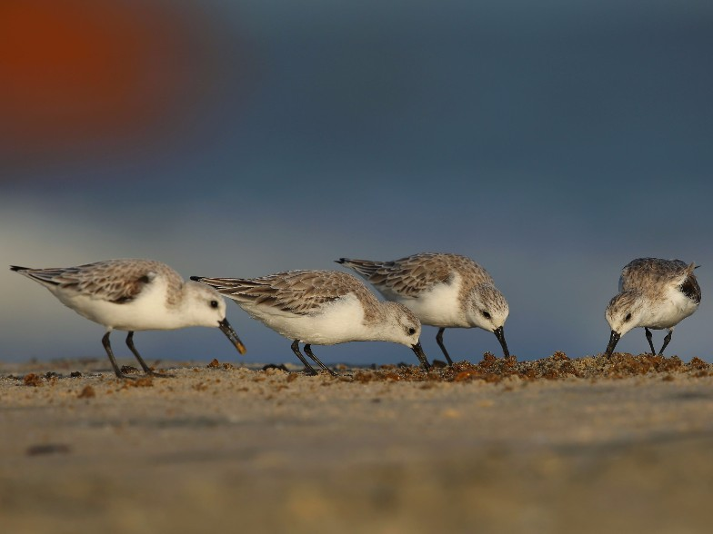 Sanderling flock feeding