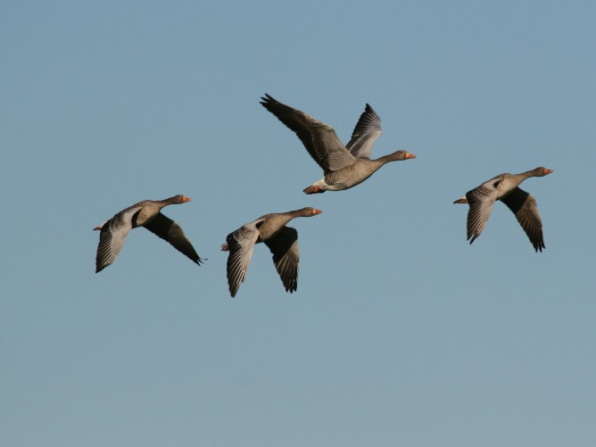 Geese flying in the sky.