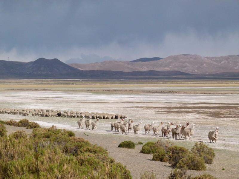 Llamas near Laguna de los Pozuelos