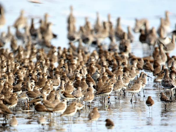 a flock of migratory waterbirds in Indonesia
