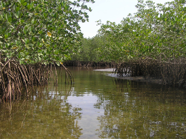 Mangroves in Senegal
