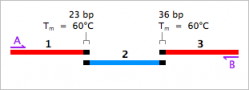 Three overlapping fragments for overlap extension PCR