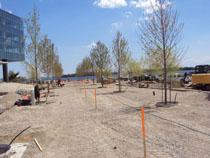 Tree plantings at Sugar Beach
