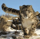 A wild snow leopard on the prowl
