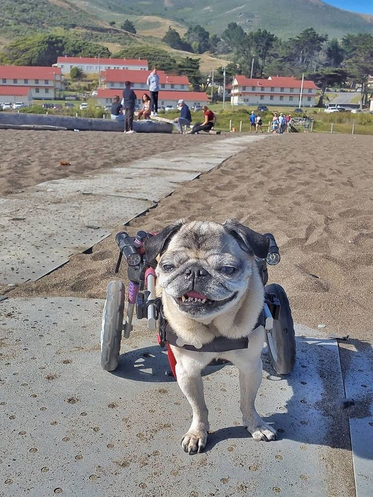 A pug using a dog wheelchair smiling on a Beach Trax pathway over sand with buildings and mountains in the background.