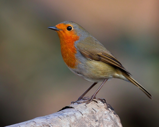 Robin by Dr David Williams