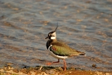 Lapwing by ICR