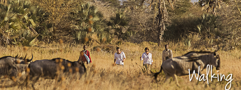Walking ... In the open bush alongside giraffe, zebra, wildebeest and elephants.