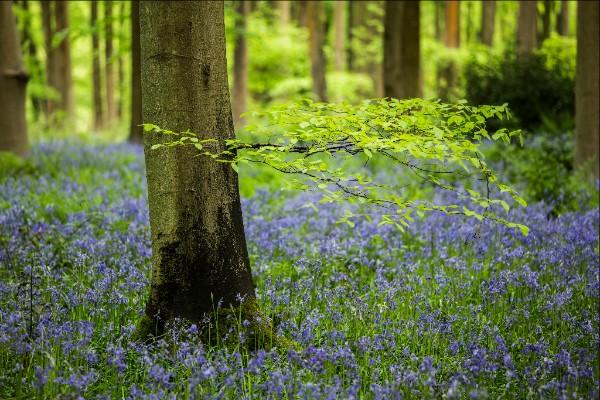 Wiltshire bluebells