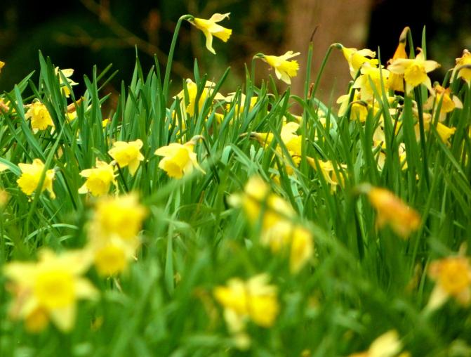 Wiltshire Daffodils