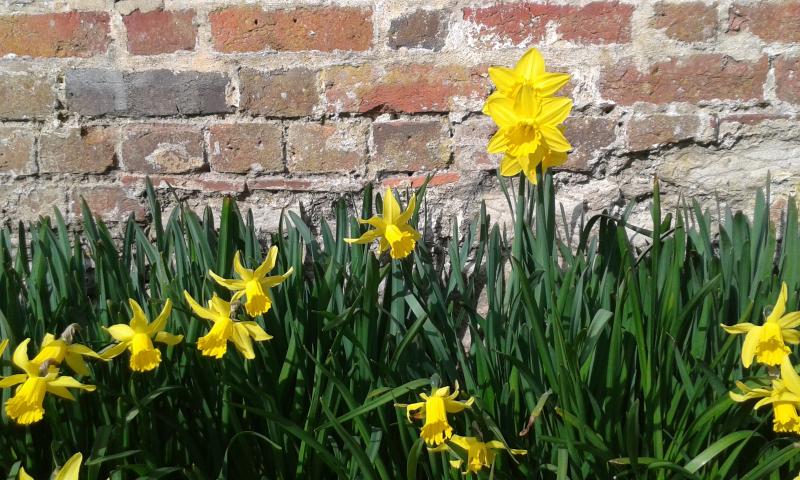 Daffodils at Stourhead