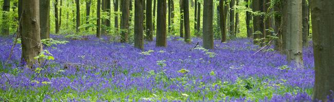 Bluebells in Wiltshire