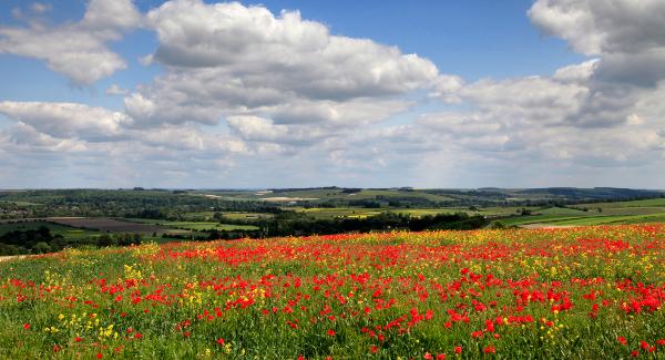 Sutton Veny Poppies
