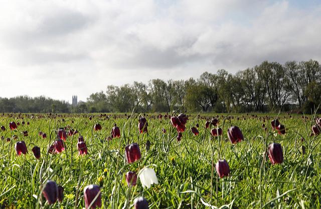 Fritillaries, North Meadow, Cricklade