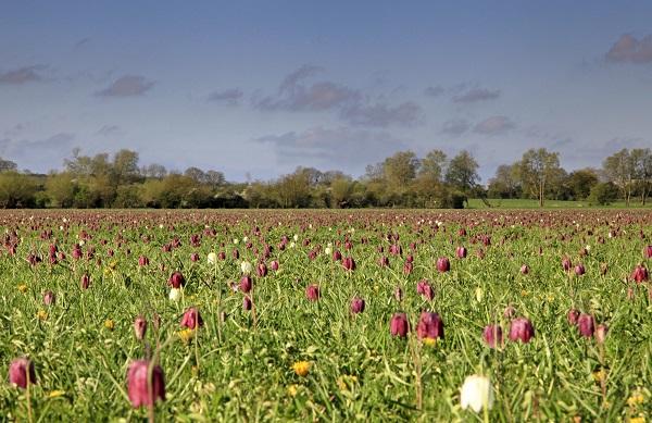 Fritillaries North Meadow Cricklade