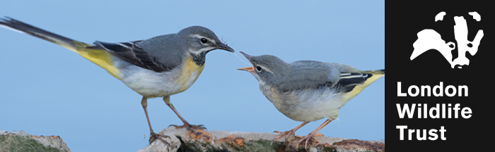 Grey wagtails by Donald Sutherland