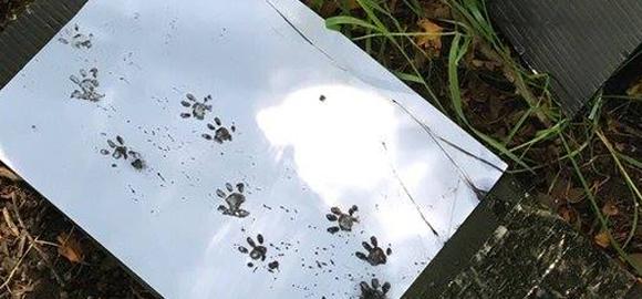 Hedgehog footprints