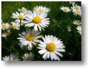 Heilpflanze Gänseblümchen