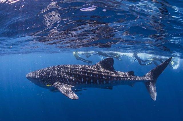 Whale shark_Ningaloo