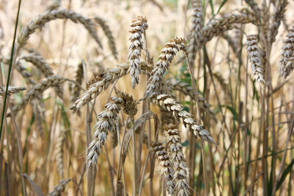 Reifes Getreide Biolandhof Warnke
