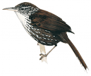 White-throated Barbtail