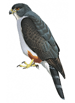 Rufous-thighed Kite (Harpagus diodon): a new Atlantic Forest endemic?