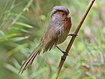 Rusty-throated Parrotbill