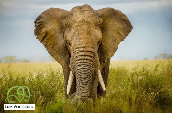 LumiVoce elephant