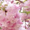 JNTO Cherry Blossom Forecast