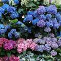 21 must-see spots in Tokyo for hydrangeas