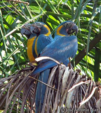 Blue-throated Macaw (c) José Antonio Díaz