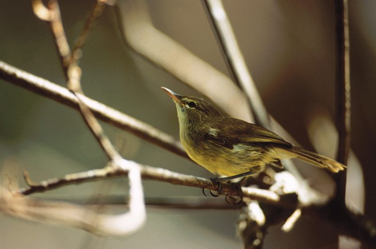 Seychelles warbler - a rare conservation success story