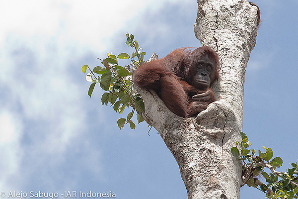 Close up of the orangutan in the tree...