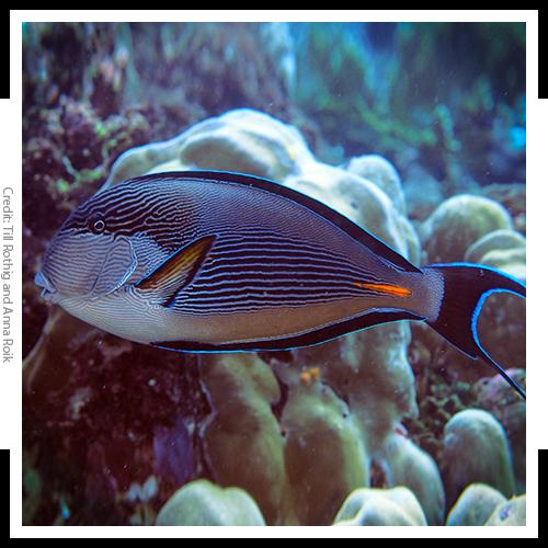 Image of Surgeonfish