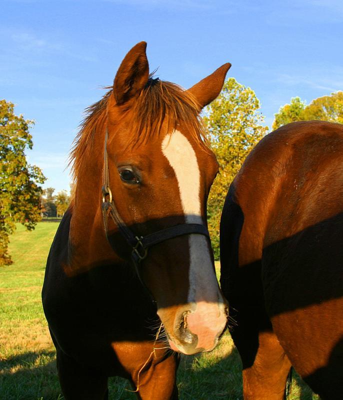brown horse facing camera, close up