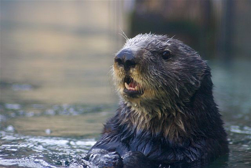 Buck the Sea Otter
