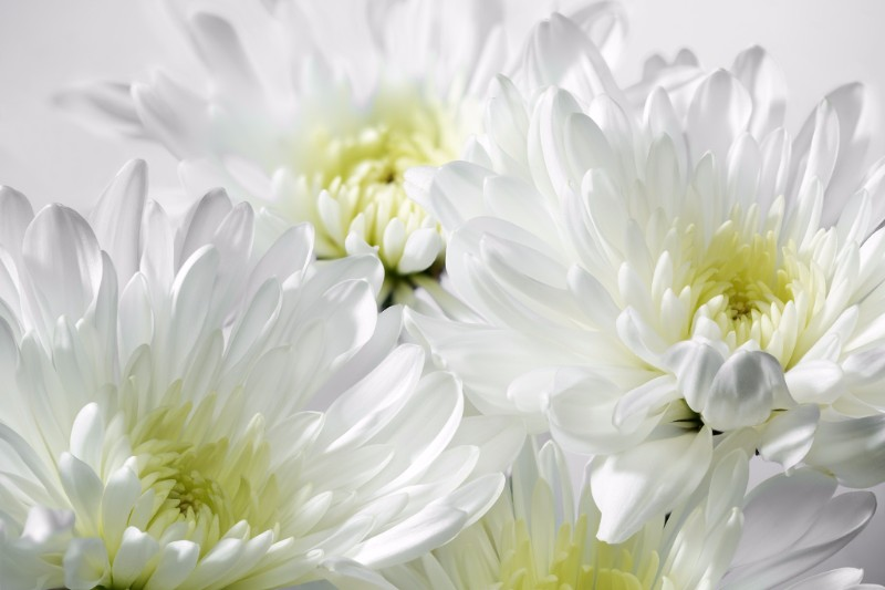 Chrysanths in White